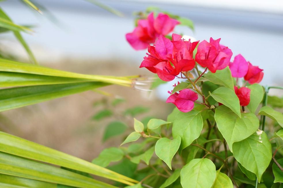 リゾラテラス天草の花3