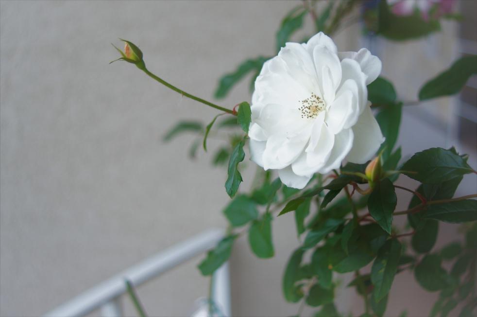 リゾラテラス天草 白い薔薇