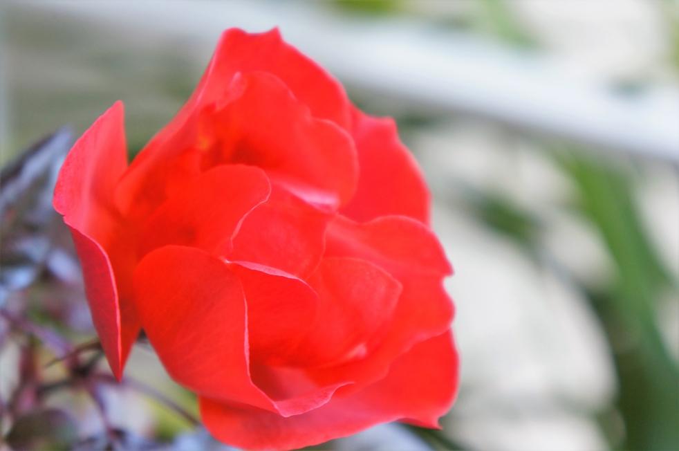 リゾラテラス天草の赤い薔薇