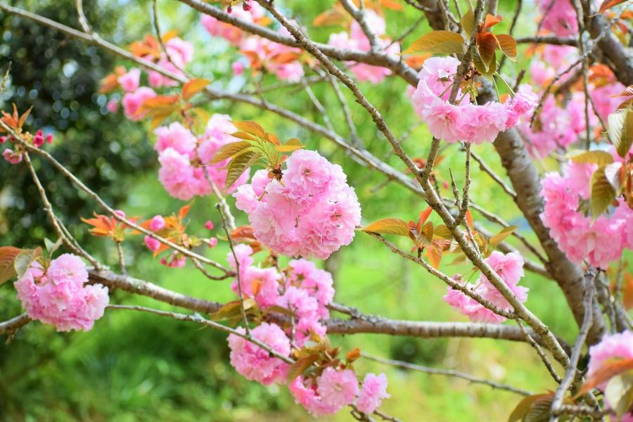 大津山公園 八重桜