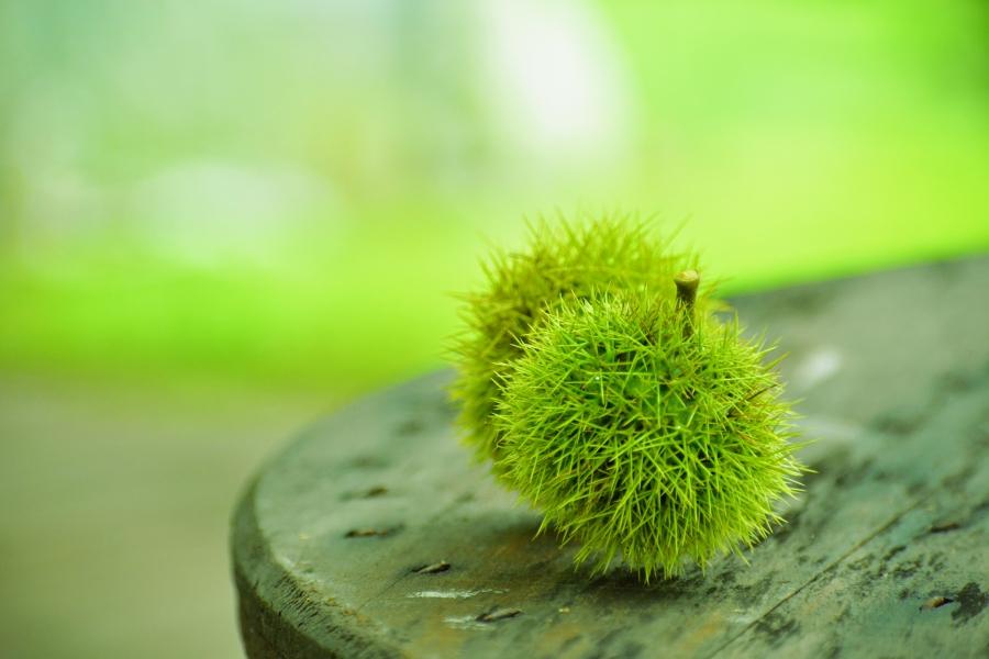 阿蘇マロンの樹 イガグリ