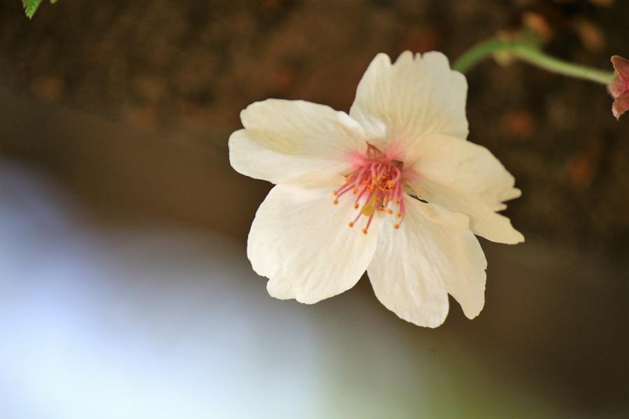 熊本県護国神社 桜残花