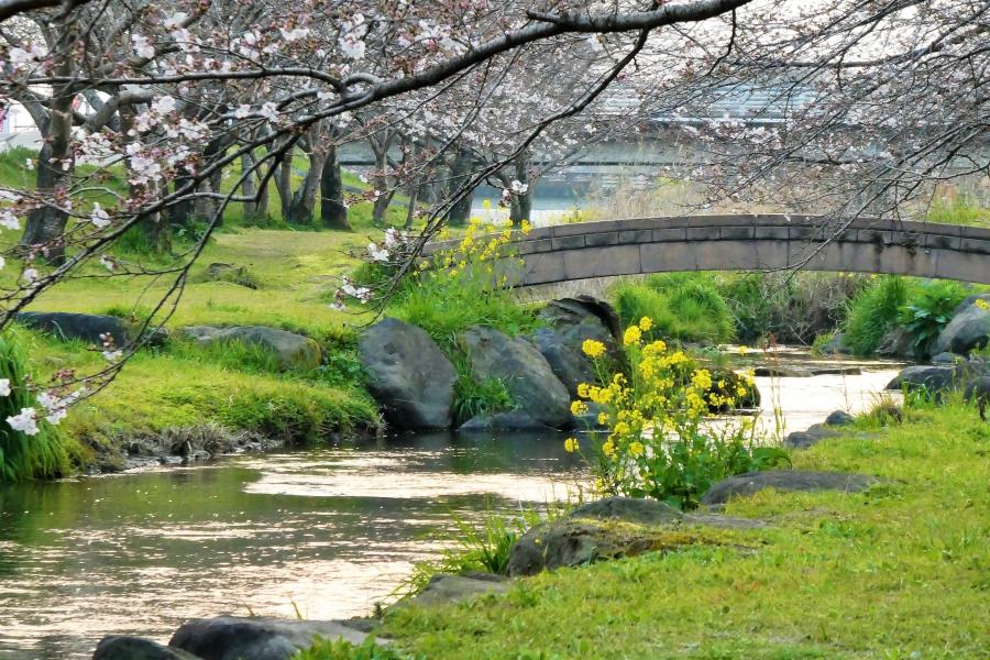 秋津川河川公園 桜